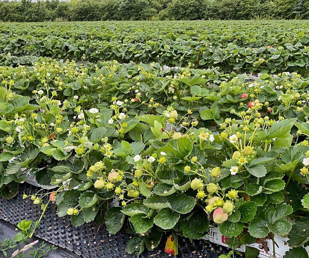 Uprawa truskawki powtarzającej w kokosie i w otwartym gruncie?