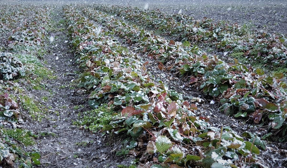 przymrozki na plantacji truskawek