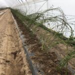 5. Sadzenie jeżyny odm. `Loch Ness` z sadzonek typu `long cane`-min