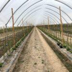 7. Po posadzeniu malin z sadzonek typu long cane-min