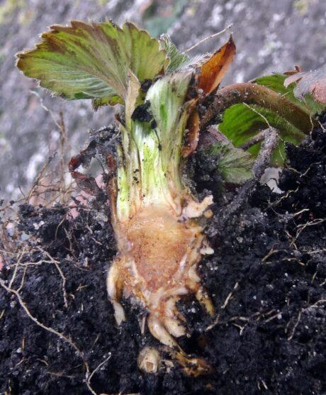 Jak ocenić stan przezimowania truskawki gruntowej