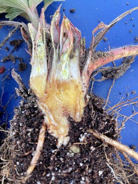 Nasilenie uszkodzeń mrozowych na plantacjach truskawki