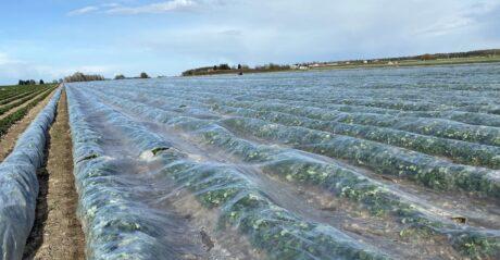 Zapowiadana fala przymrozków - kilka wskazówek dla plantacji truskawki