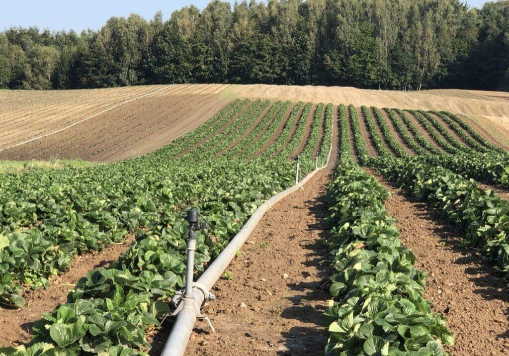 Agrotechnika w truskawce po zbiorach. Część II, 24.08.2020
